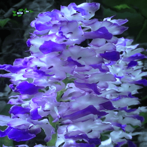 Blue White Flowers LWP