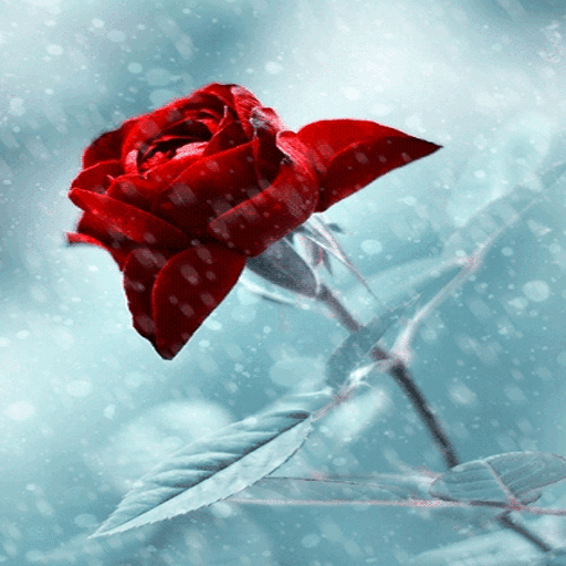 Winter Red Rose LWP