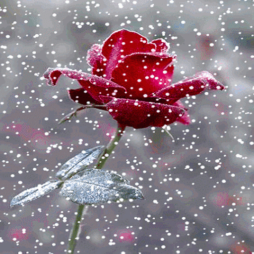 Red Snowy Rose LWP
