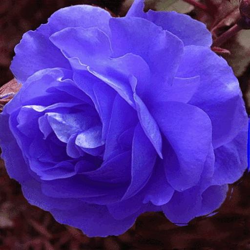 Blue Rose Swing LWP