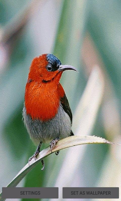 Red Bird Live Wallpaper