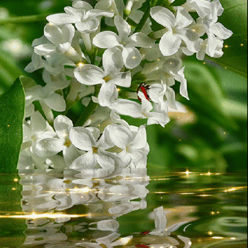 White Magic Flowers LWP