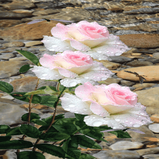 Pink White Roses LWP