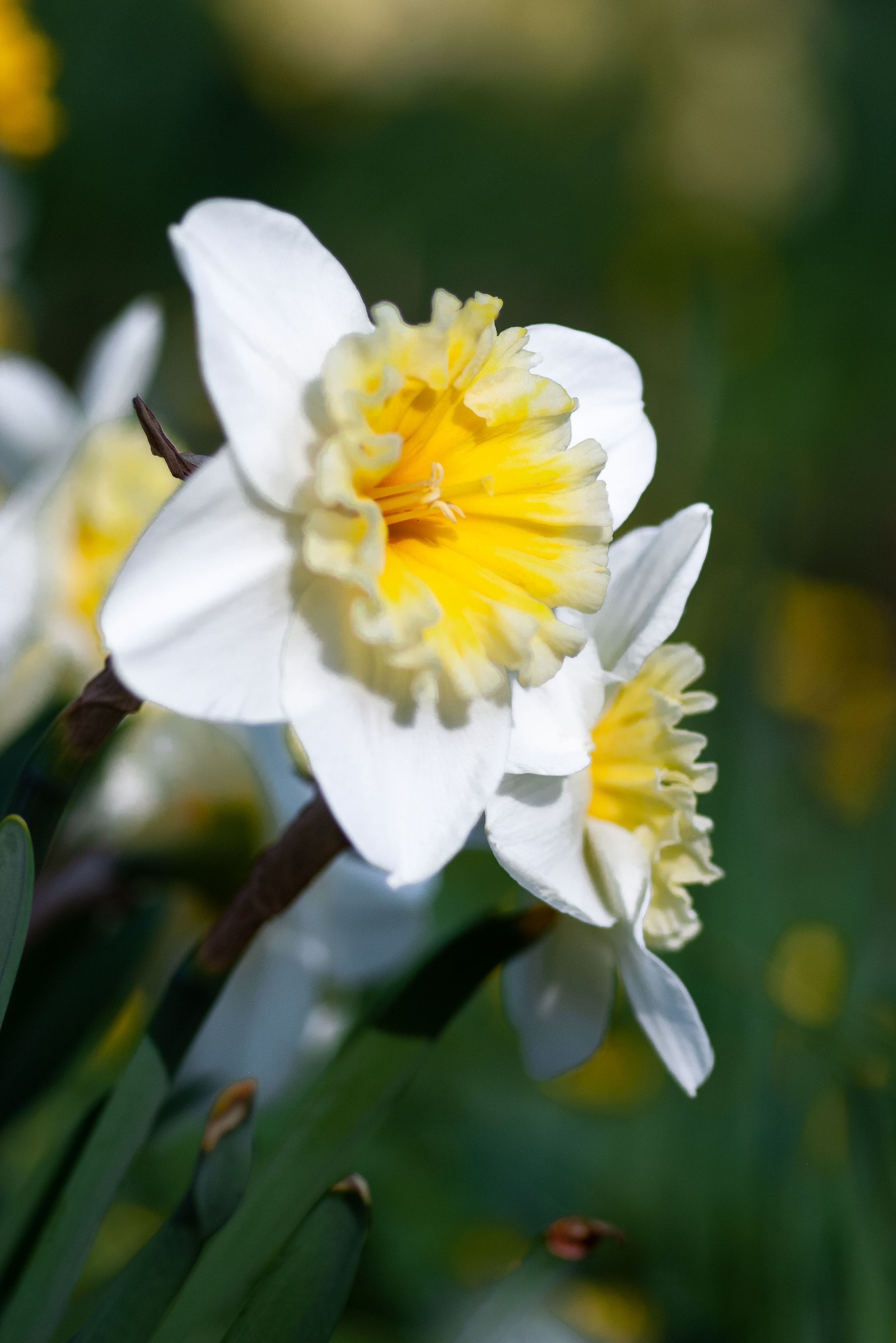 Daffodil Flower Wallpapers