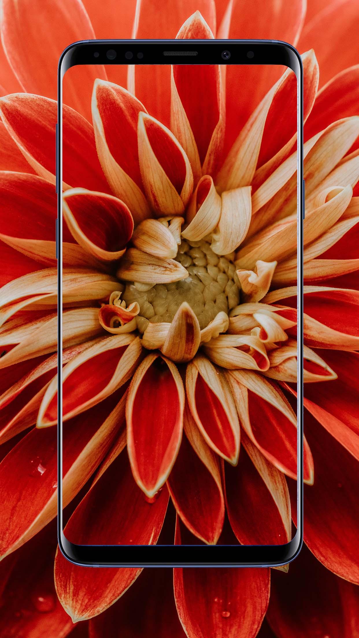 Dahlias Flower Wallpapers