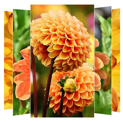 Dahlias Flower Wallpapers