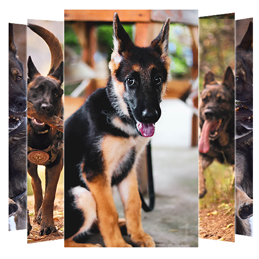 German Shepherd Dogs Wallpapers and Backgrounds