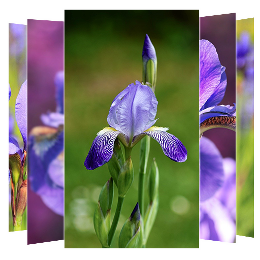 Iris Flower Wallpapers