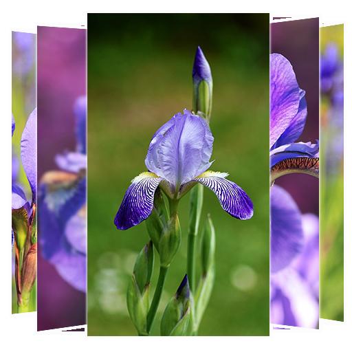 Iris Flower Wallpapers