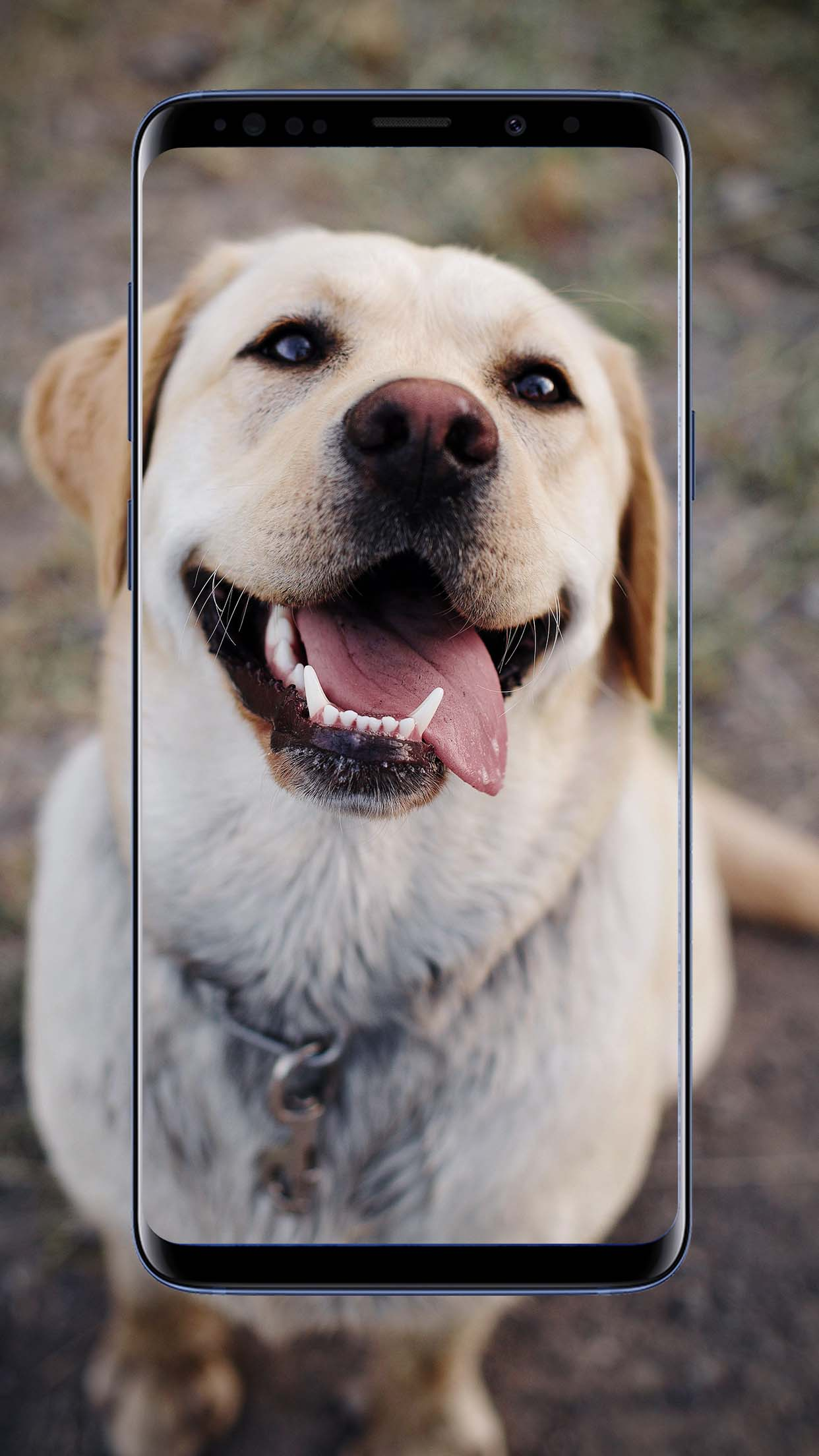 Labrador Wallpapers and Backgrounds