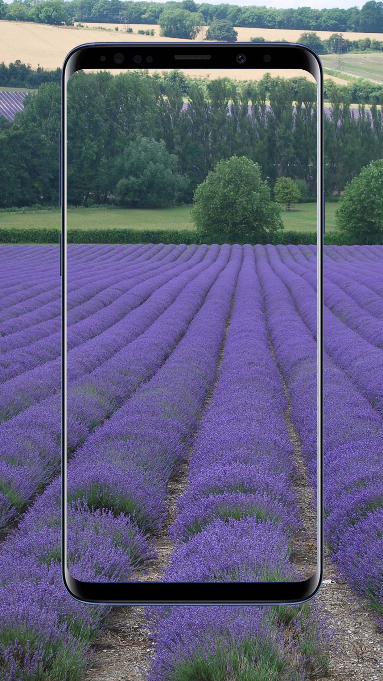 Lavender Flower Wallpapers