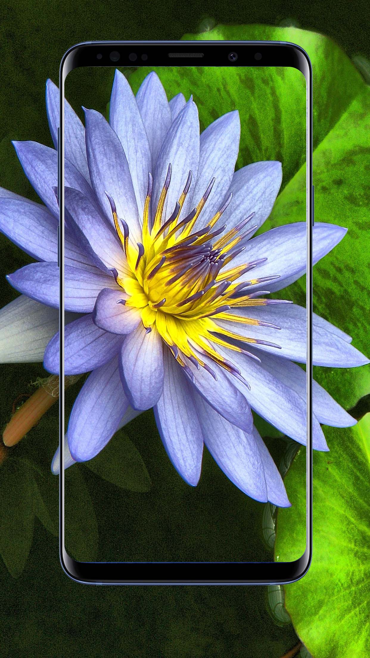 Lotus Flower Wallpapers