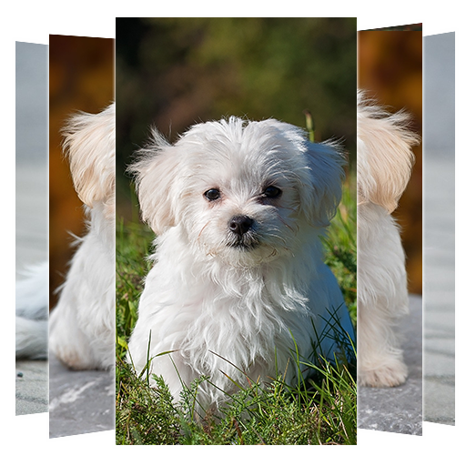 Maltese Dog Wallpapers