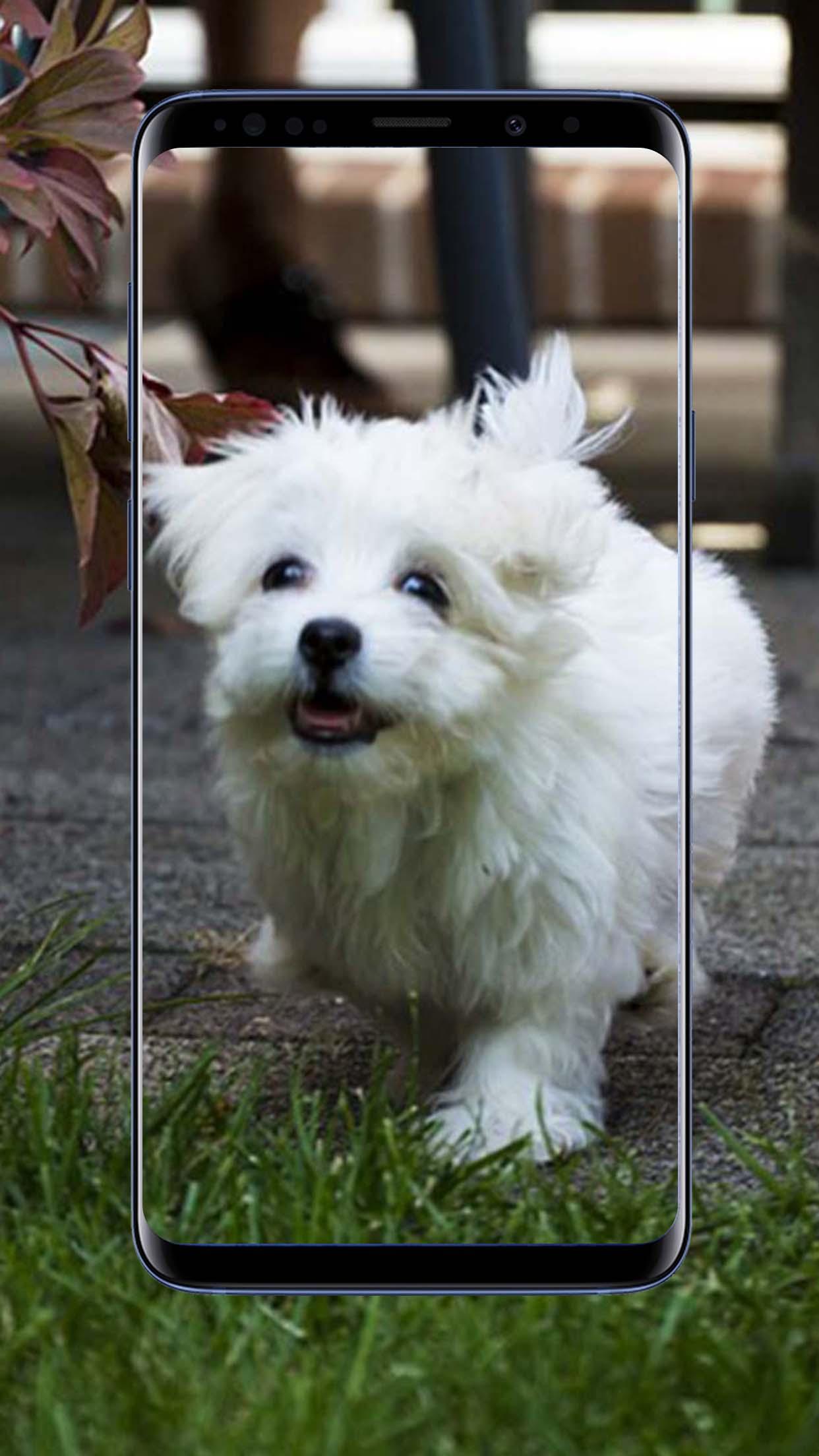 Maltese Dog Wallpapers