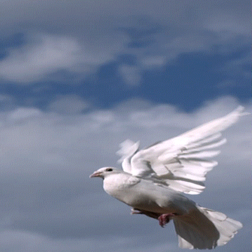 Pigeon Flying Live Wallpaper