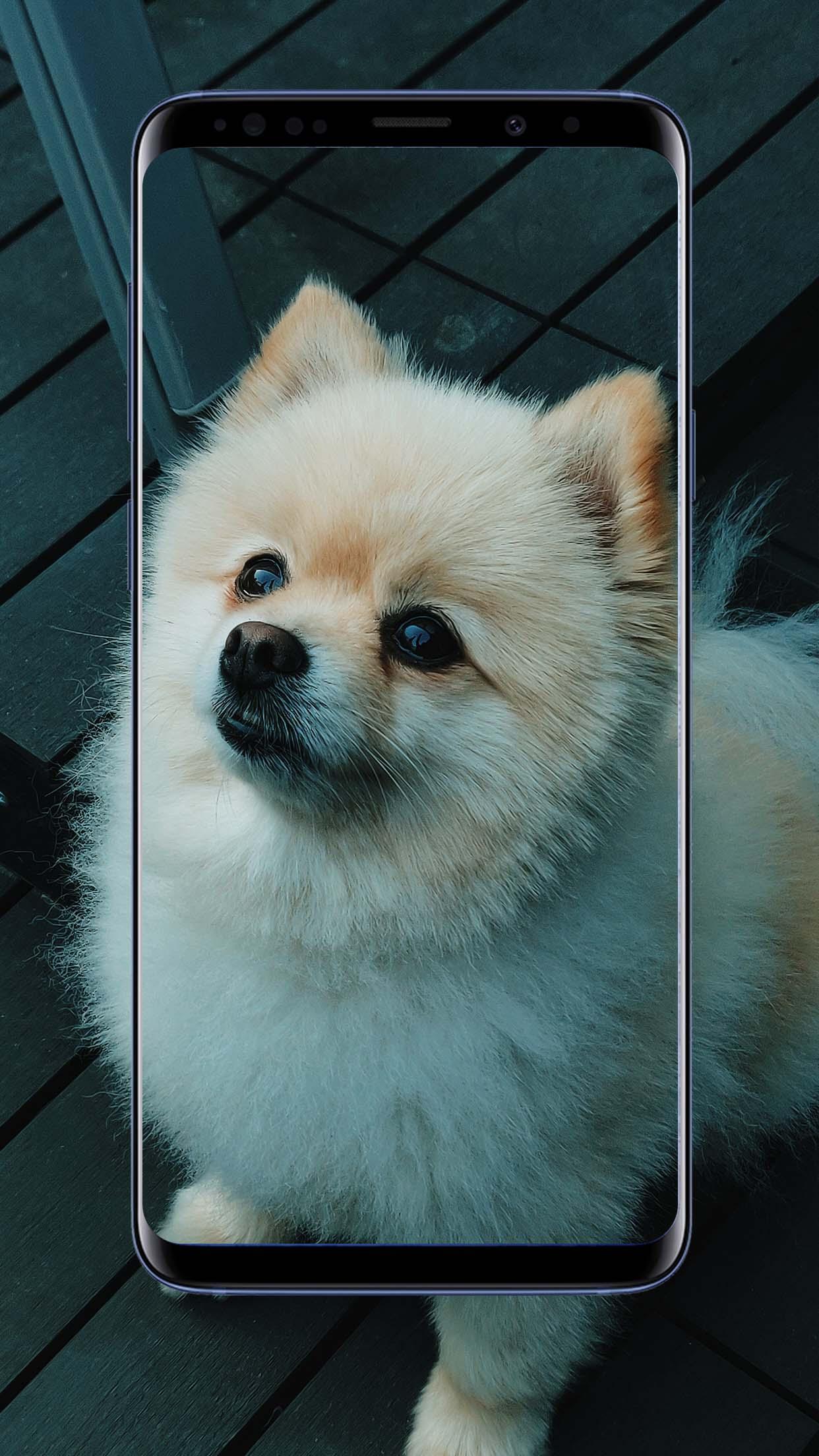 Pomeranian Dogs Wallpaper