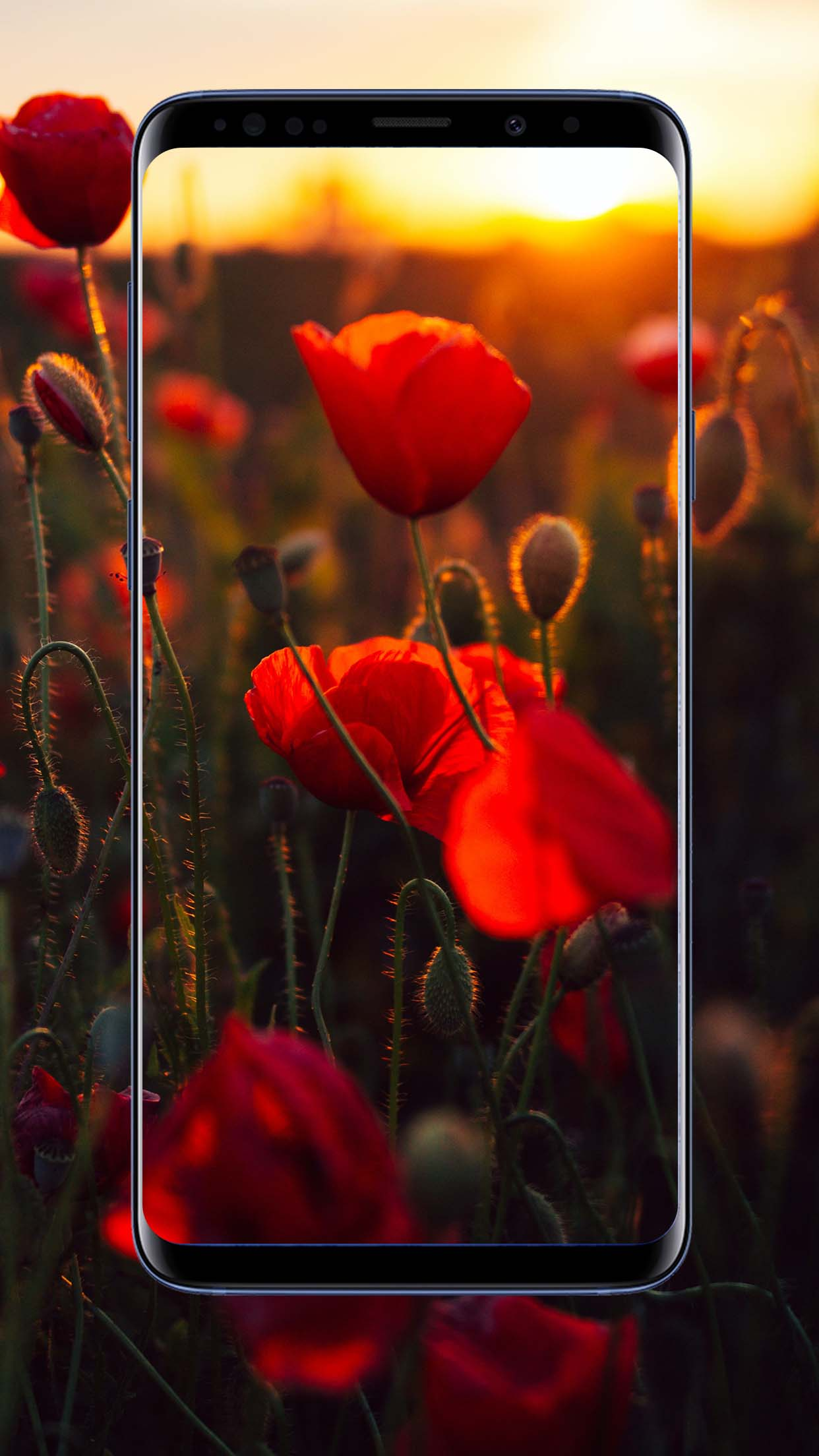 Poppies Flower Wallpapers
