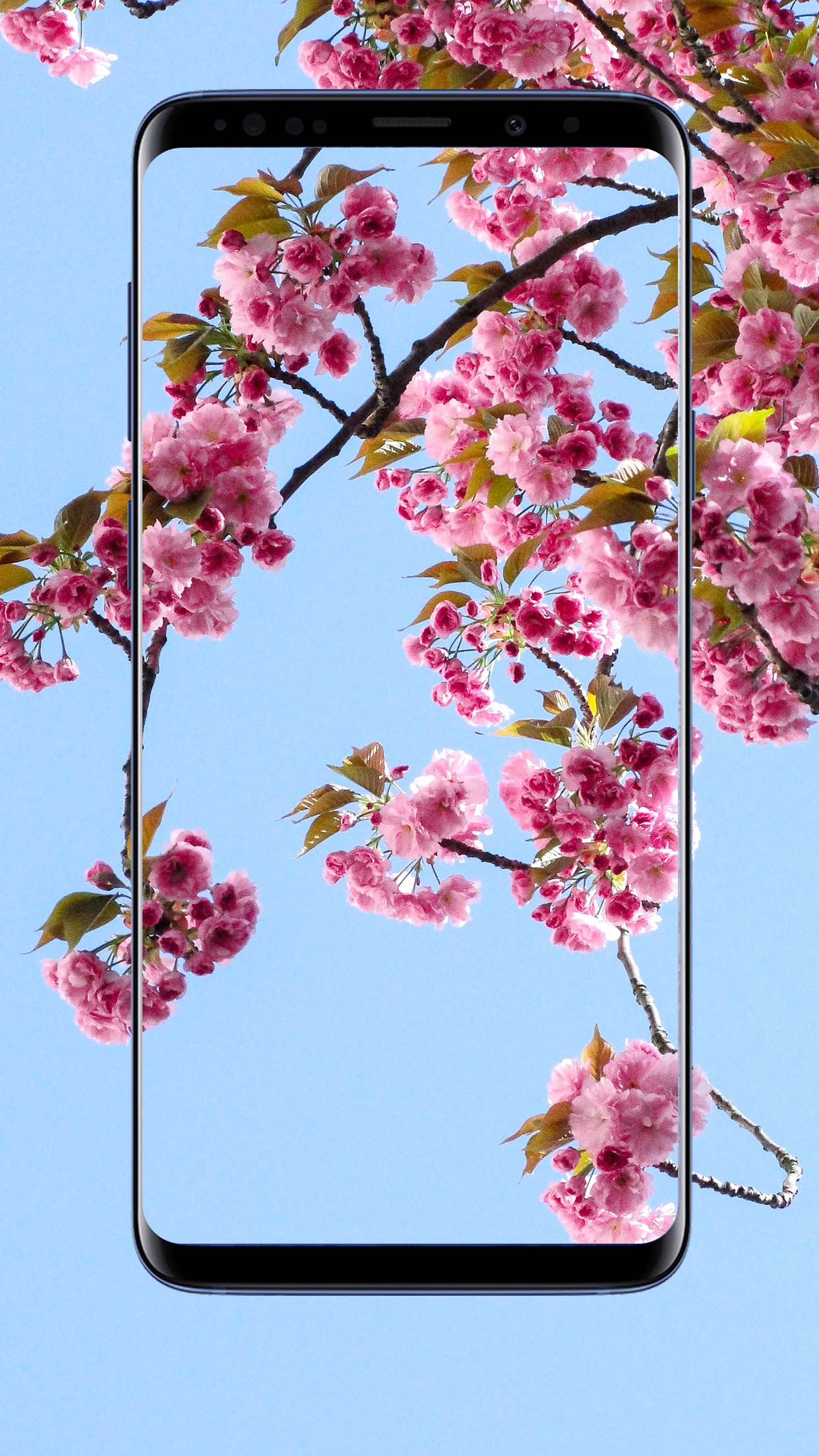 Sakura Flower Wallpapers