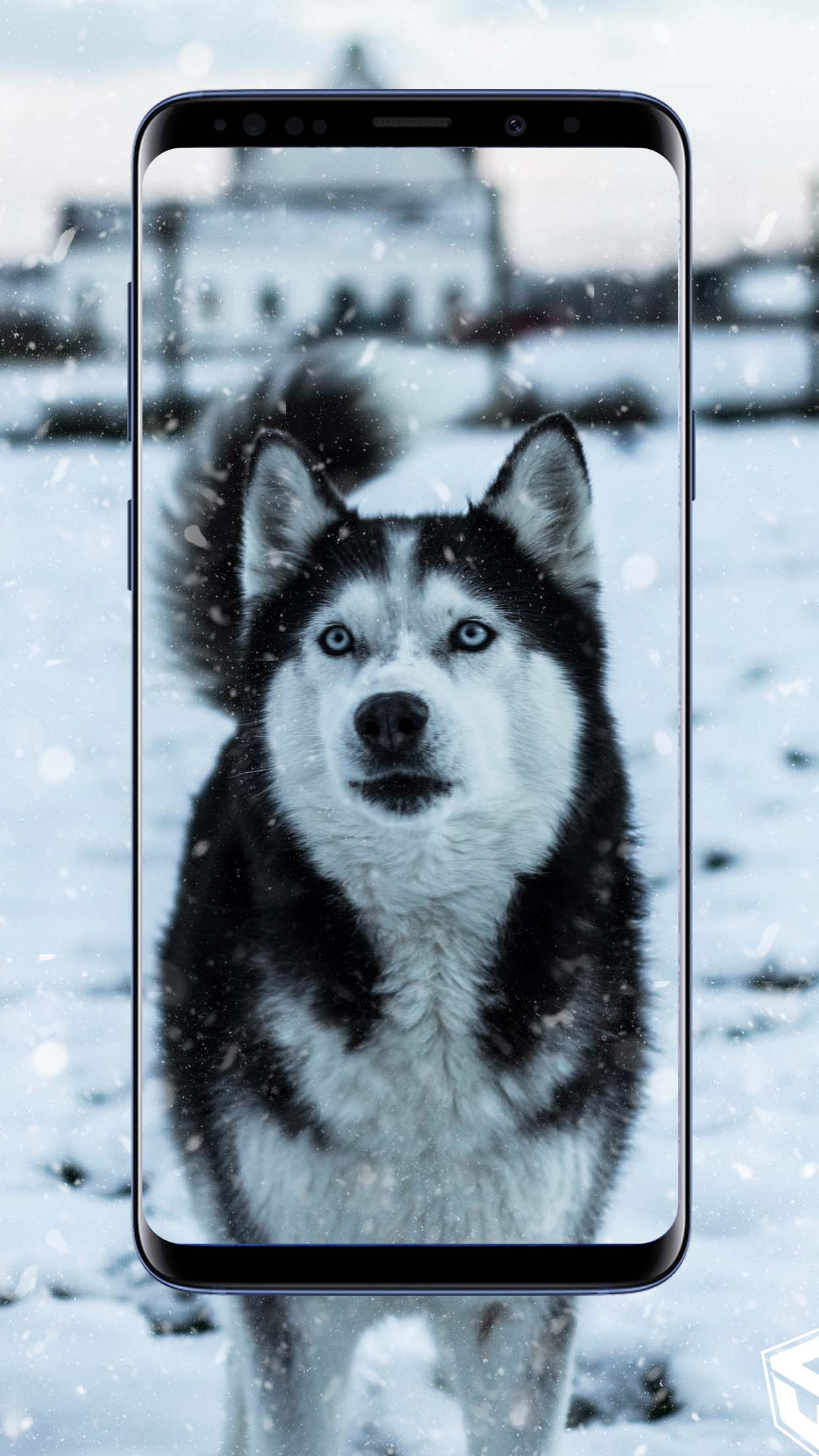 Siberian Husky Wallpapers and Backgrounds