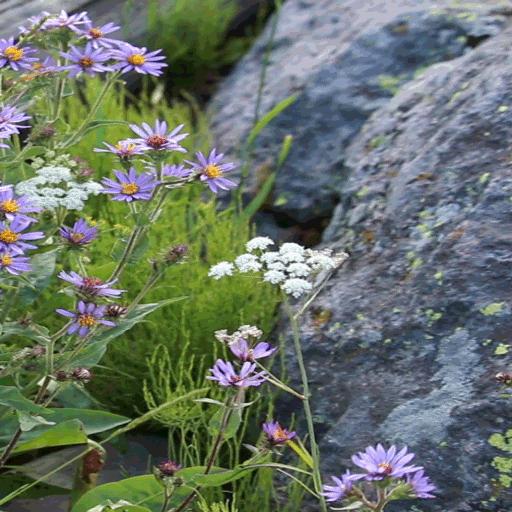 Purple White Flowers LWP